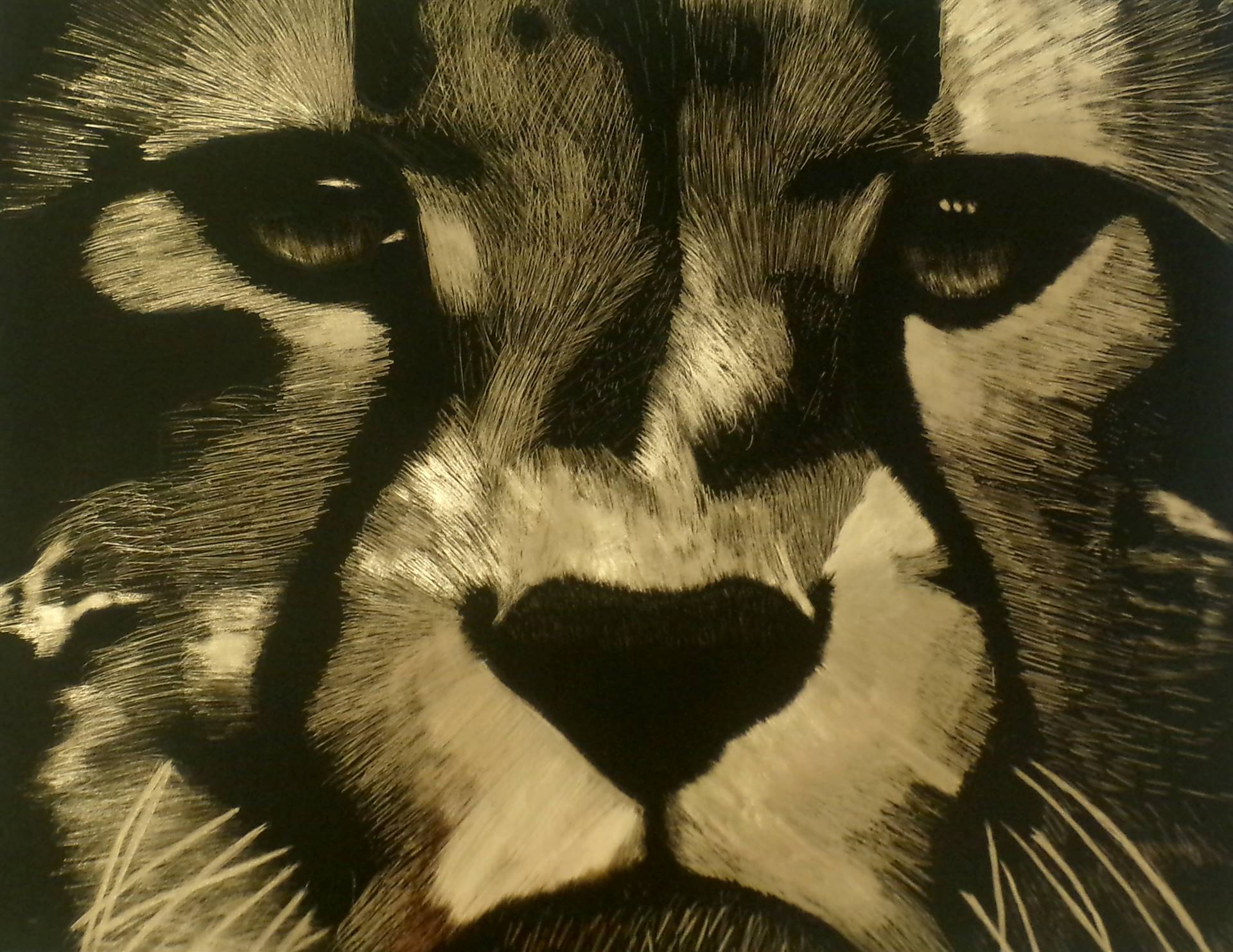 Scratchboard artwork of a close up of a cheetah face